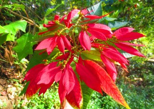 The poinsettias grow wild and beautiful here from September through February.