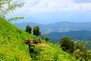 A curious bull on the mountainside