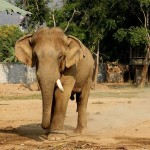 800px-Thai_bull_elephant_in_musth